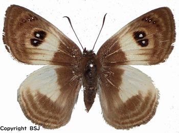 Ocellata albata (Peru) UP.jpg