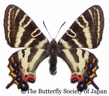 s-L. japonica (Mt. Ryumon, Wakayama).jpg